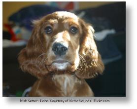 Irish setter.  Dana.  Courtesy of Victor Sounds.  Flickr.com