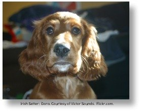 Irish setter.  Dana.  Courtesy of Victor Sounds.  Flickr.com